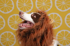 Close-up of a Border collie Stock Photography