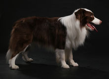 Close-up of a Border collie Royalty Free Stock Photos