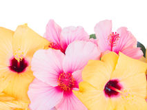 Close up border of colorful hibiscus flowers Stock Images