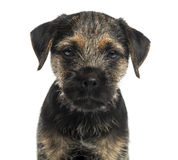 Close-up of a Border Terrier puppy, looking at the camera Stock Image
