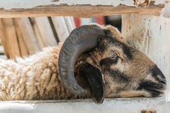 Close-up boring sheep with horns Royalty Free Stock Images