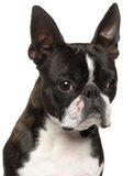 Close-up of Boston Terrier, 1 year old Stock Image