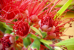 Close-up of Bottlebrush flower Royalty Free Stock Image
