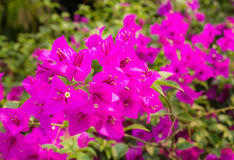 Close up Bougainvillea flower Royalty Free Stock Photo