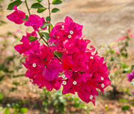 Close up Bougainvillea flower Royalty Free Stock Image