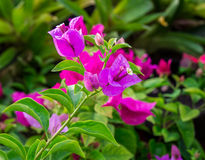 Close up Bougainvillea flower Royalty Free Stock Images