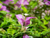 Close up of a bougainvillea purple flowers Stock Photo