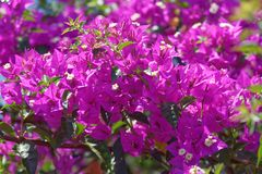 Close-up of bougainvillea spectabilis blossoms. This photo was taken on Portuguese island of Madeira stock image