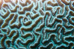 Close-up of a Boulder Brain Coral (Colpophyllia natans) underwater for texture or background Royalty Free Stock Images
