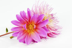 Close up of bouquet made from pink dahlias on white background Royalty Free Stock Photos