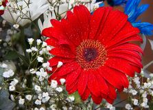 Close up of a bouquet of red Gerbera Barberton Daisy flower surrounded by white baby breath royalty free stock images