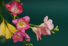Close Up of Bouquet of spring Pink and Yellow Freesia flowers on green background Royalty Free Stock Photos