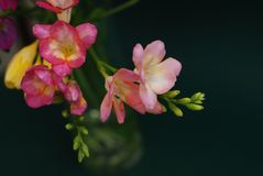 Close Up of Bouquet of spring Pink and Yellow Freesia flowers on green background Stock Images