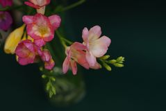 Close Up of Bouquet of spring Pink and Yellow Freesia flowers on green background Royalty Free Stock Image