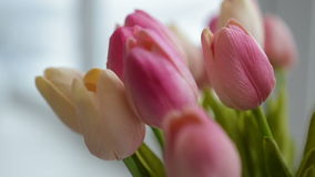 Close-up of a bouquet of tulips on a light background. Close-up of a bouquet of tulips stock footage