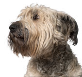 Close-up of Bouvier des Flandres, 2 years old Stock Photo