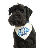 Close-up of a Bouvier des Flandres with bandana, 2 years old Royalty Free Stock Photography