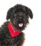 Close up of a Bouvier des Flandres, panting, with read bandana Stock Images