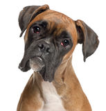 Close-up of Boxer, 12 months old Royalty Free Stock Photo