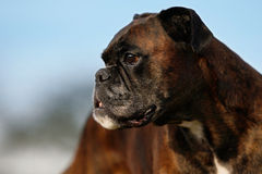 Close-up of a Boxer Royalty Free Stock Photo