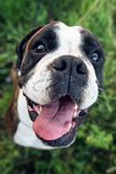 Close-up of boxer dog Royalty Free Stock Photography