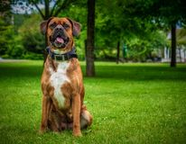 Close up boxer dog sitting in a public park stock photo