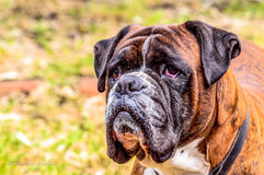 Close-up of a boxer. Foreground of head of a beautiful dog Stock Images