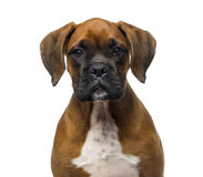 Close-up of a Boxer puppy (3 months old) Stock Photos