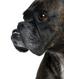 Close-up on a Boxer's head (9 years) Stock Images