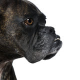 Close-up on a Boxer's head (9 years) Royalty Free Stock Photography