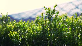 Close-up, boxwood leaves sway in the wind, in the sun. juicy green boxwood bush. growing ornamental evergreen nursery