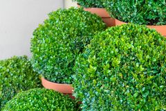 In the shape cut boxwood. Close up of boxwood plants in ball shape in flowerpots Royalty Free Stock Photo