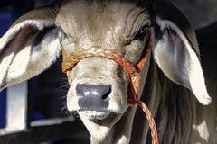 Close up of Brahman calf Royalty Free Stock Image