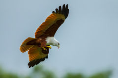 Close up of Brahminy kite Royalty Free Stock Photo