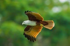 Close up of Brahminy kite Stock Photo