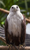 Close up Brahminy Kite Royalty Free Stock Photography