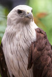 Close up Brahminy Kite Stock Images