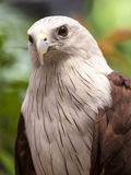 Close up Brahminy Kite Royalty Free Stock Photos