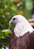 Close up Brahminy Kite Stock Photos