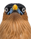 Close-up of a Brahminy Myna - Sturnia pagodarum Stock Image