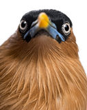 Close-up of a Brahminy Myna - Sturnia pagodarum Stock Photography
