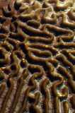 Close up of brain coral in ocean Stock Image