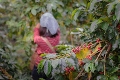 Close up branch of arabica coffee berries red with farmers worki. Ng at background Stock Photos