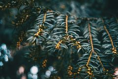 Close-up of branch of Baccata taxus with small fruits royalty free stock photos