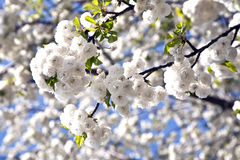 Close-up branch of bloom in spring Royalty Free Stock Photos