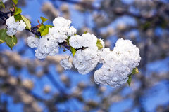 Close-up branch of bloom in spring Royalty Free Stock Photo