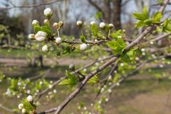 Close-up of branch of blossoming cherry tree with leaves Royalty Free Stock Images