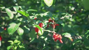 Close-up. A branch of blossoming Japanese quince with green fruits. Fruit bush with beautiful red flowers and green stock video