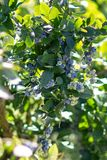 Branch of blueberry with berries ,the harvest..nature stock photography