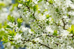 Close up of branch of cherry blossom Royalty Free Stock Photography